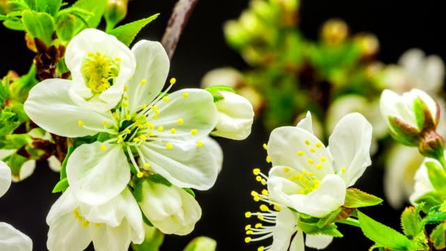 Japanese flowering cherry blossom video