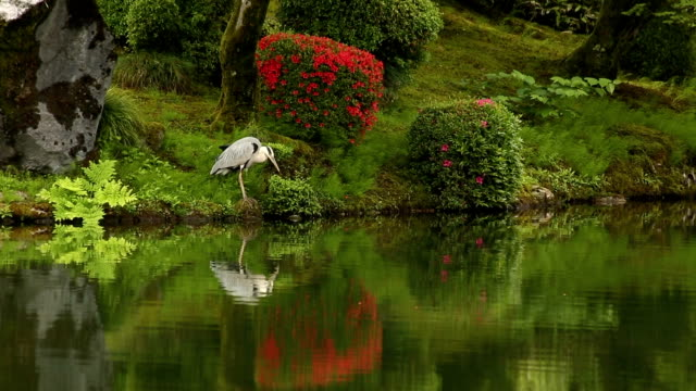 Japanese Gardens. Green. Reflection. Crane along Shore of Lake. video