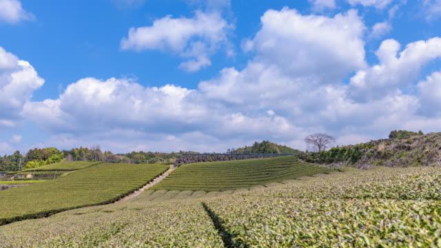 静岡県のお茶畑の日本 ビデオ