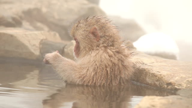 Japanese Macaque (Snow Monkey) at Hot Spring Young Japanese Snow Monkey sitting in hot spring. japanese macaque stock videos & royalty-free footage