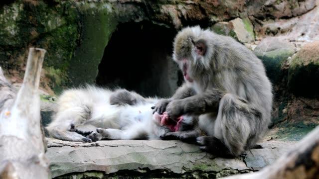 ニホンザルのもう一つのモンキーの歯のクリーニング - 猿点の映像素材/bロール