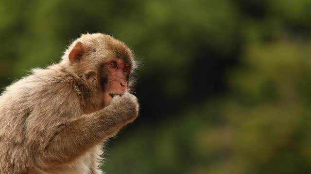 ニホンザル(雪猿)を食べる ビデオ