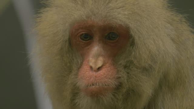 Japanese macaque looking around sad video