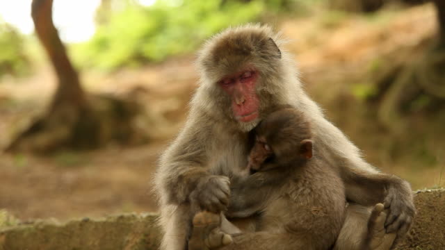 Japanese Macaque (Snow Monkey) Nursing Young Japanese Macaque (Snow Monkey) nursing. Shot near Kyoto Japan. japanese macaque stock videos & royalty-free footage