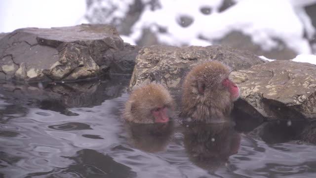 kış sezonu boyunca kar maymun park ya da jigokudani yaen-koen nagano, japonya onsen japon makak veya kar japon maymun - japon makak maymunu stok videoları ve detay görüntü çekimi