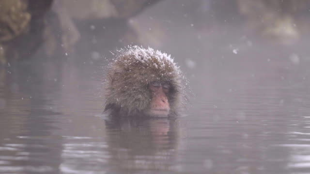 japanese macaque or snow japanese monkey with onsen at snow monkey park or jigokudani yaen-koen in nagano, japan during the winter season - primate video stock e b–roll