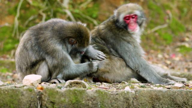 japanese macaque shot near kyoto japan - уход за поверхностью тела у животных стоковые видео и кадры b-roll