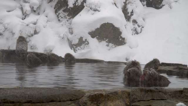 Japanese macaque Japanese macaque japanese macaque stock videos & royalty-free footage