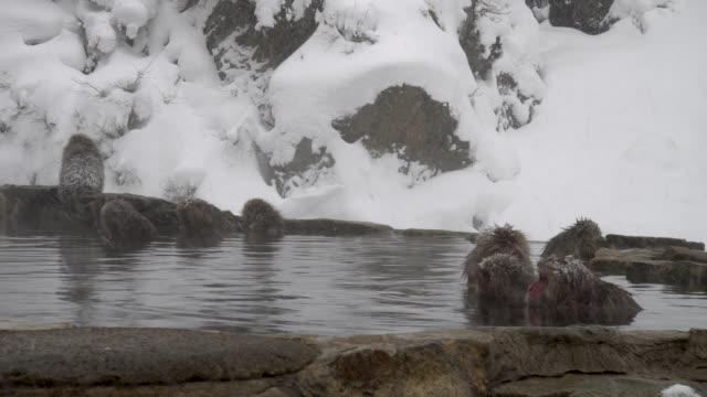 japon makak - japon makak maymunu stok videoları ve detay görüntü çekimi