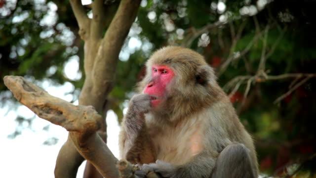 japanese macaque (snow monkey) - japon makak maymunu stok videoları ve detay görüntü çekimi