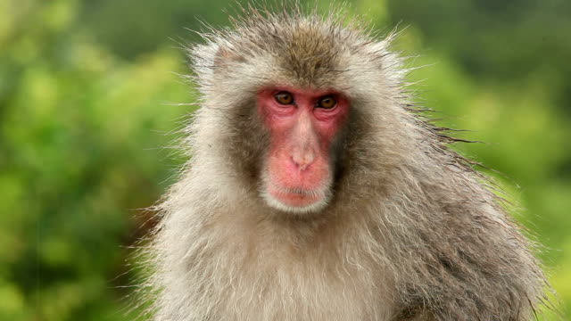 Japanese Monkey In The Rain Monkey in the rain. Shot in Kyoto Japan. japanese macaque stock videos & royalty-free footage