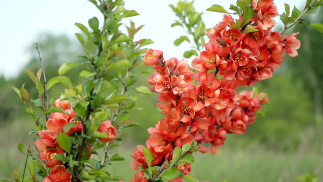 Japanese quince Bush with flowers standing in the field and swaying in the wind video