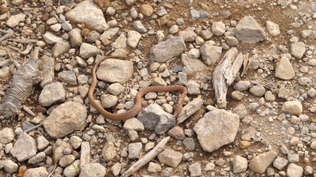 Japanese rat snake (Elaphe climacophora) - Kuril islands