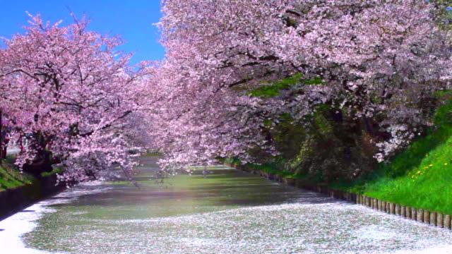 vídeos de stock, filmes e b-roll de cenário japonês - cerejeira árvore frutífera