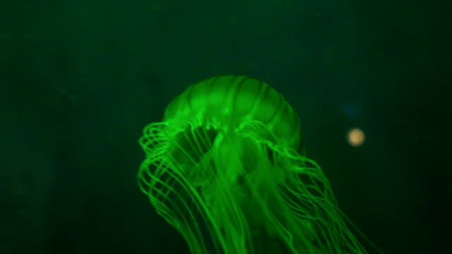 Japanese Sea Nettle video