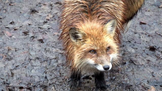 Japanese snow fox