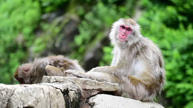 Japanese snow monkey at Jigokudani snow monkey park in summer 4K Footage of Japanese snow monkey at Jigokudani snow monkey park in summer japanese macaque stock videos & royalty-free footage