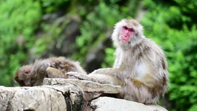 yaz aylarında jigokudani kar maymun parkta japon kar maymunu - japon makak maymunu stok videoları ve detay görüntü çekimi