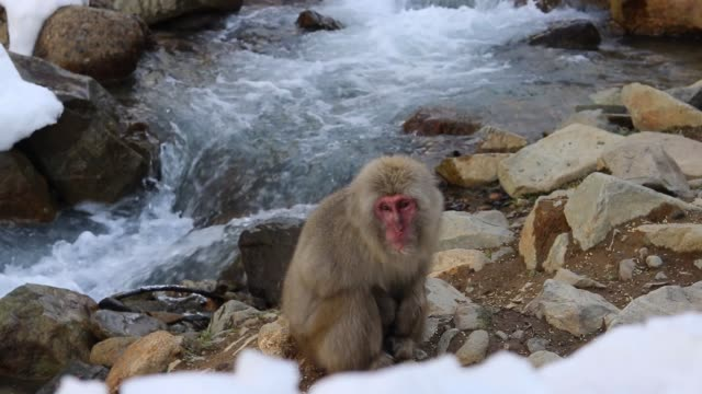 Japanese Snow Monkey Sitting At The Edge Of A Hot Spring Japanese Snow Monkey Family Sitting On A Rocky Hot Spring Onsen Bank With Hot Steaming Water On A Cold Winters Day In Nagano Japan japanese macaque stock videos & royalty-free footage