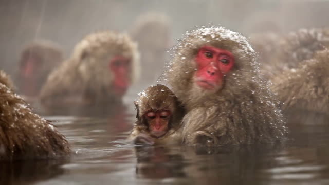japanese snow monkey winter hot spring - nature stock videos & royalty-free footage