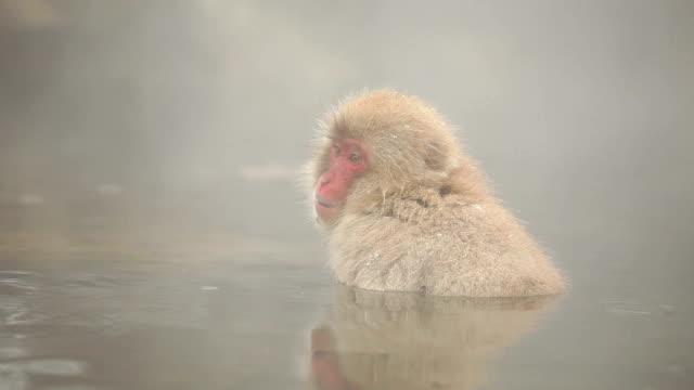 japon maymun kış sıcak bahar kar - japon makak maymunu stok videoları ve detay görüntü çekimi