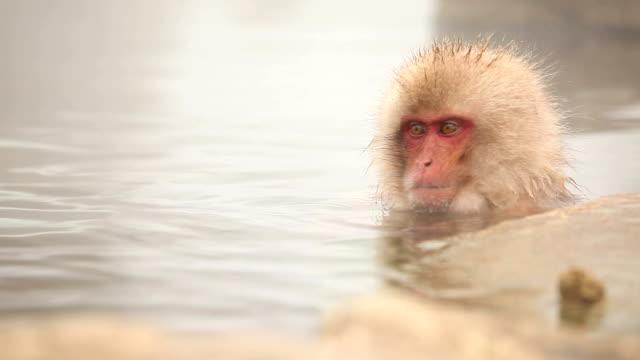 日本の温泉、雪猿の冬 ビデオ