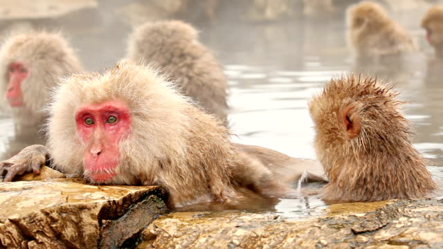 Japanese Snow Monkeys In Hot Spring Japanese snow monkeys staying warm in a hot spring. japanese macaque stock videos & royalty-free footage