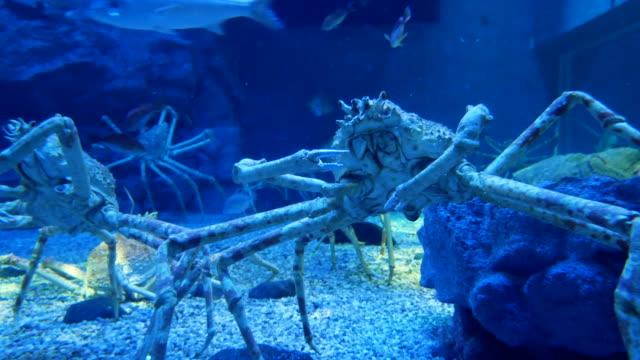 Japanese spider crab (Macrocheira kaempferi), 4k Resolution