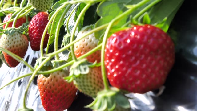 Japanese strawberry grown in house