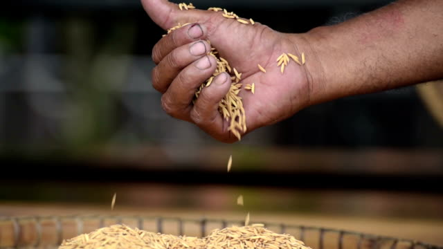 Jasmine rice in farmer hand Jasmine rice from the field on woman farmer hands, a higher quality type of rice. Farmer rice work hard to prepare the farm before rice planting. Now farmer occupation have less and only old farmer. rice cereal plant stock videos & royalty-free footage