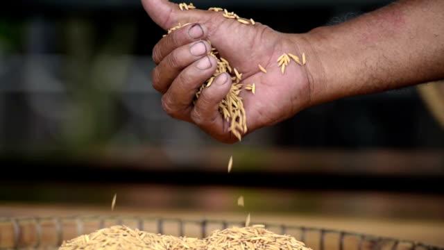 jasminris i bonde hand - ris spannmålsväxt bildbanksvideor och videomaterial från bakom kulisserna