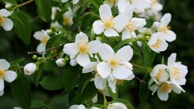 jasmin. frühlingsplänen in weißen farben auf, die natur erwacht. - jasmin stock-videos und b-roll-filmmaterial