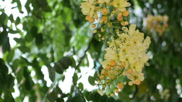 Java Cassia, Pink Shower, Apple Blossom Tree, Rainbow Shower , Tropical flower on tree