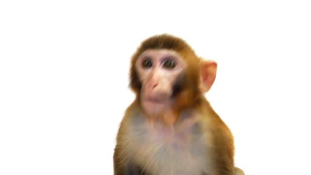 java macaque monkey isolated on white background - makak maymunu stok videoları ve detay görüntü çekimi