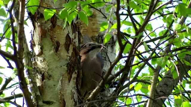 Jay builds nest