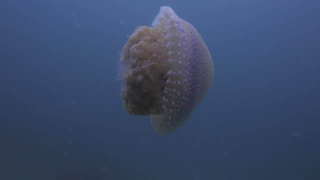 Jelly Fish video