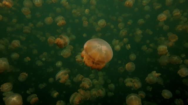 Jellyfish Lake, Snorkeling, Palau video