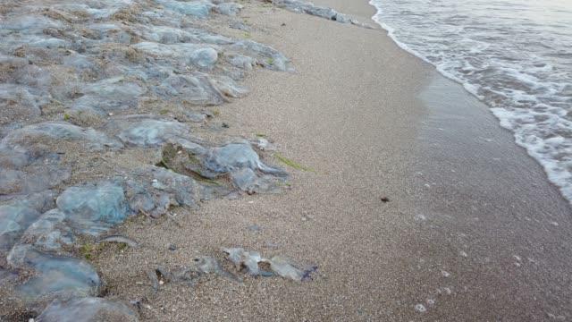 jellyfish on the beach. species of jellyfish rhizostoma pulmo. dead jellyfish on the sand. - część ciała zwierzęcia filmów i materiałów b-roll