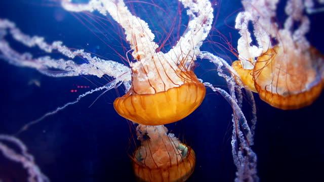 Jellyfish swarm video