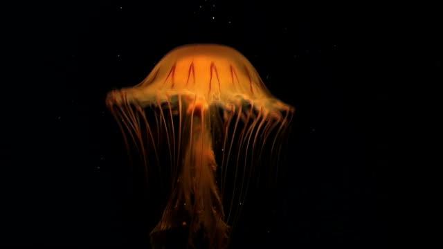 Jellyfish video