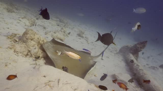 vídeos de stock e filmes b-roll de jenkin whipray at the bottom in maldives - uge
