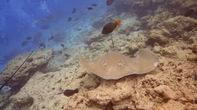 vídeos de stock e filmes b-roll de jenkin whiprays feeding at the bottom in maldives - uge