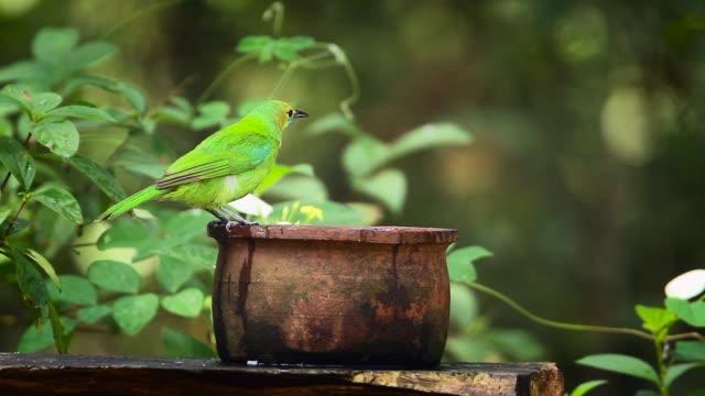 jerdon des leafbird in sri lanka - endemisch stock-videos und b-roll-filmmaterial