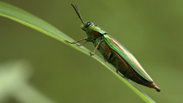 jewel beetle (chrysochroa fulgidissima) - część ciała zwierzęcia filmów i materiałów b-roll
