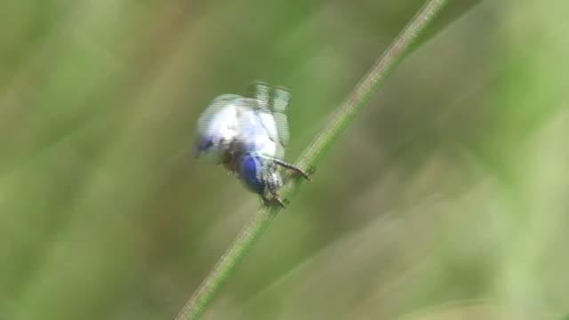 jewel chrząszcze fighting niesamowite kolory!! - zachowanie zwierzęcia filmów i materiałów b-roll