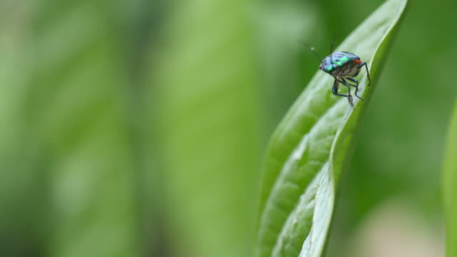 jewel bug climbing leaf and flying away video