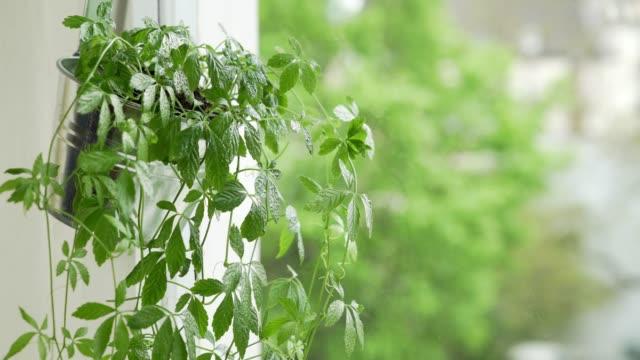 Jiaogulan Plant Growing in Urban Apartment video