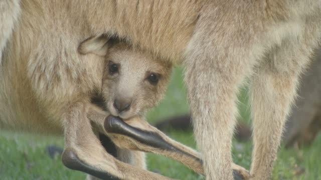 joey kangaroo wallaby pungdjur djur australien - djurfamilj bildbanksvideor och videomaterial från bakom kulisserna