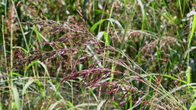 Johnsongrass ,sorghum halepense