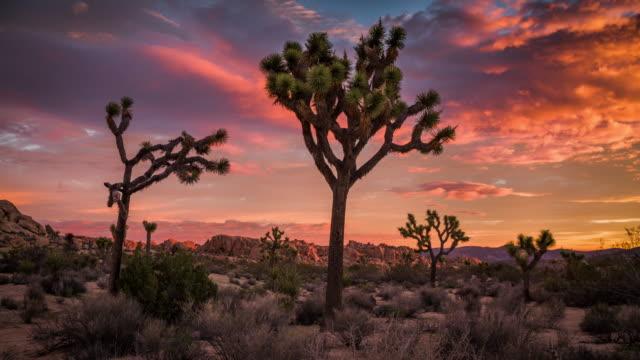ジョシュア ツリー夕暮れの砂漠の風景 - ジョシュアツリー国立公園点の映像素材/bロール